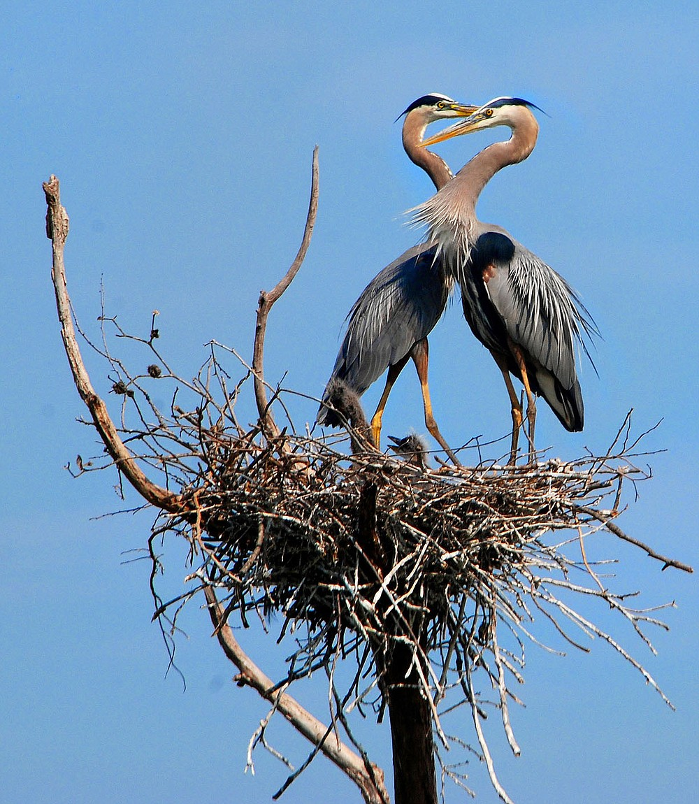 Submitted/TERRY STANFILL This pair of great blue herons was photographed on a nest at the Wild Wilderness Safari in June 2011.