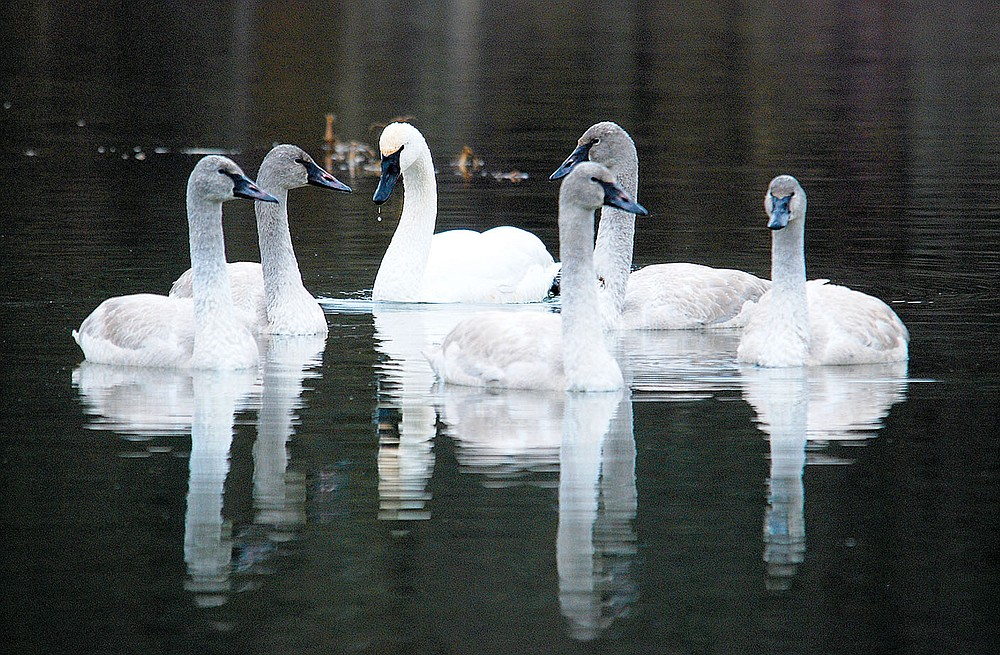 Submitted/TERRY STANFILL A family of trumpeter swans paid a visit to Siloam Springs City Lake in January 2015. The large federally-protected swans are an unusual sight in northwest Arkansas and their appearance on the waters of City Lake shows the value of the lake for native wildlife, including endangered and federally-protected species. Trumpeter swans have been brought back from the brink of extinction and shallow lakes like Siloam Springs City Lake are a favorite of the large swans.