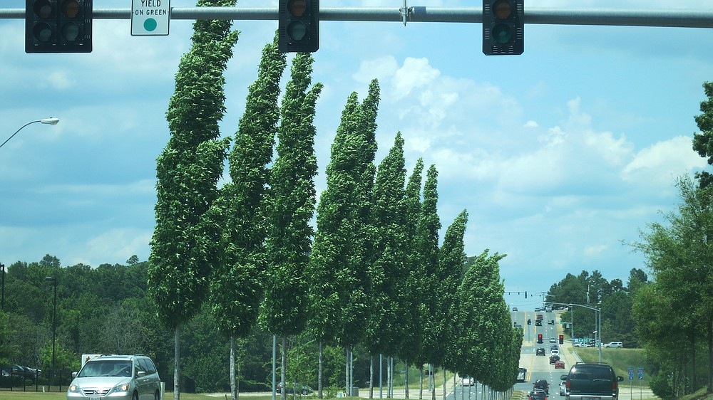 Only about 5 feet wide but up to 75 feet tall, fastigiate sweetgum trees make a statement along a roadway. (Special to the Democrat-Gazette/Janet B. Carson)