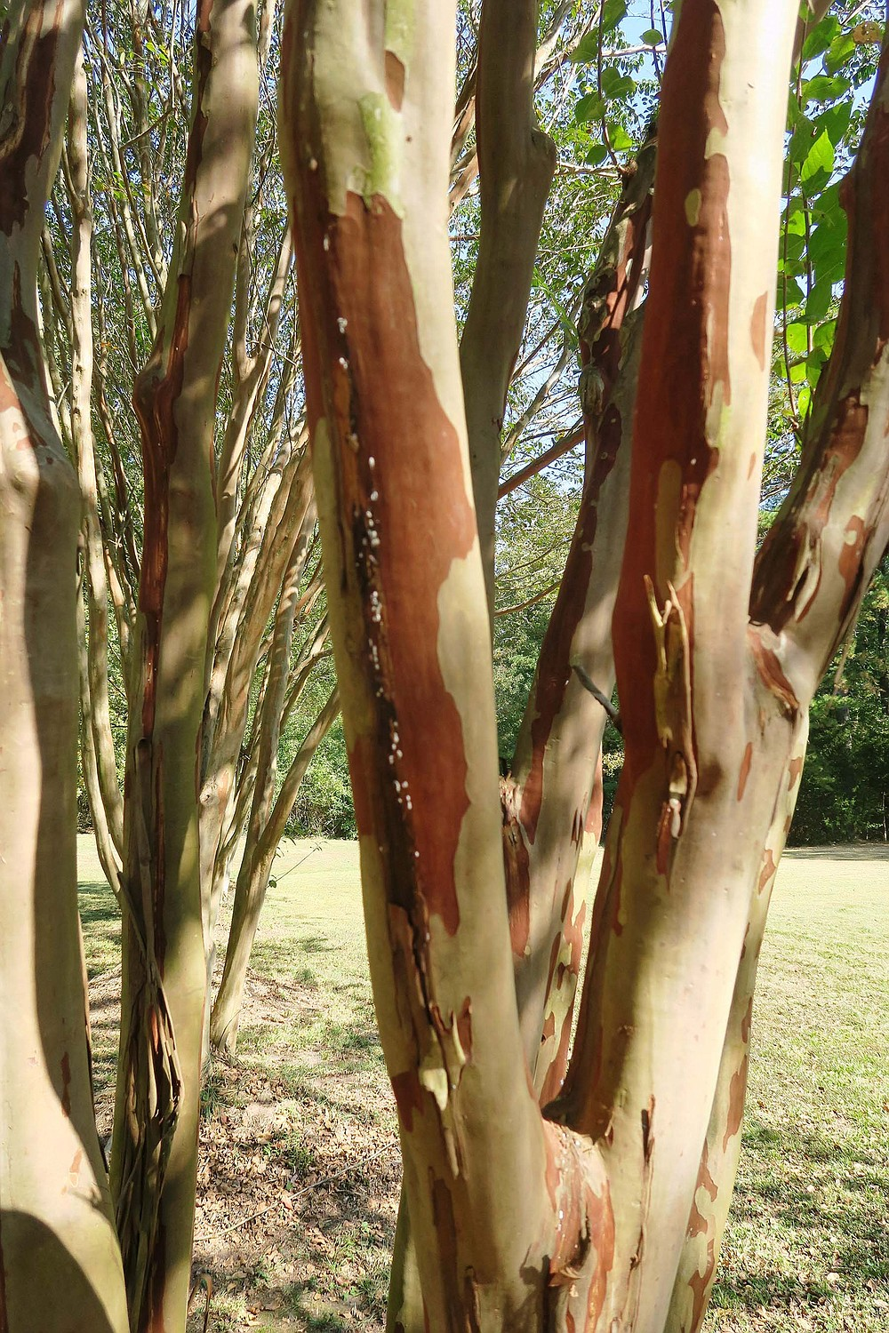 The bark of crape myrtles begins to peel when the trees reach maturity. (Special to the Democrat-Gazette/Janet B. Carson)