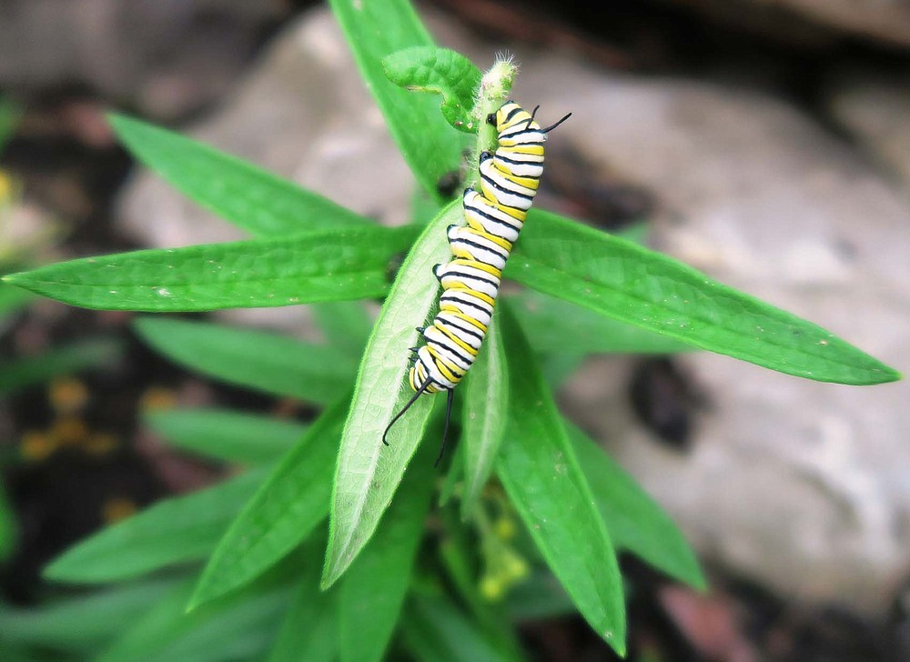 Monarch caterpillars don't automatically appear on milkweed plants. (Special to the Democrat-Gazette/Janet B. Carson)