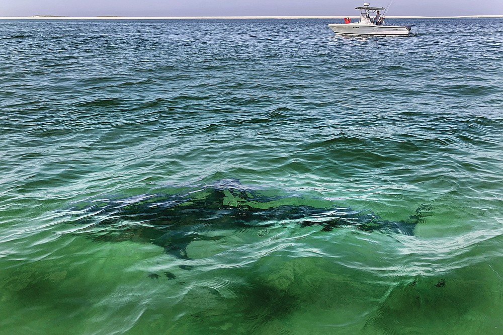 A white shark swims across a sand bar, seen from a shark watch with Dragonfly Sportfishing charters, off the Massachusetts' coast of Cape Cod, on Friday, Aug. 13, 2021 . Cape Cod is slowly embracing its shark reputation, three summers after the popular vacation destination saw its first great white shark attacks in generations. A growing group of charter boat operators are offering shark tours to complement the region's whale and seal watching excursions. (AP Photo/Phil Marcelo)