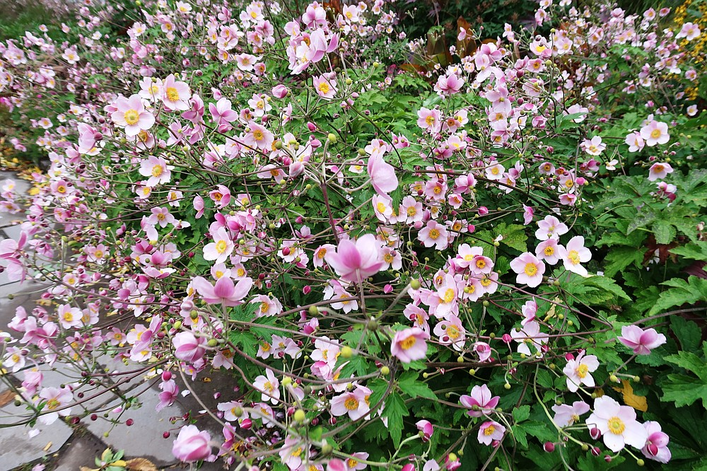 Fall-blooming perennials, Japanese anemones need rich and moist but well drained soil. (Special to the Democrat-Gazette/Janet B. Carson)