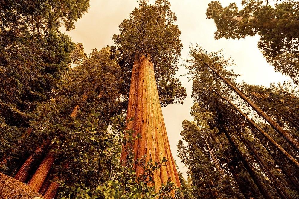 En la imagen, vista de un bosque de secuoyas en Lost Grove, en la autopista de los Generales, a 15 millas del incendio KNP Complex, el 17 de septiembre de 2021, en el Parque Nacional de las Secuoyas, en California. (AP Foto/Noah Berger)