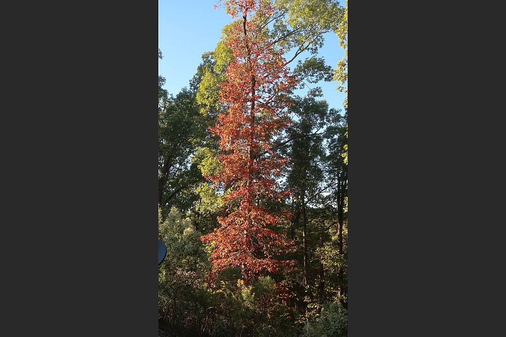Nyssa sylvatica, blackgum, grows 50 feet tall but only 20 to 30 feet wide. (Special to the Democrat-Gazette/Janet B. Carson)