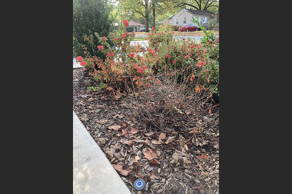 A local county extension office could send samples from these ailing azaleas to the disease diagnostic lab at the University of Arkansas Division of Agriculture to investigate what's wrong. (Special to the Democrat-Gazette)