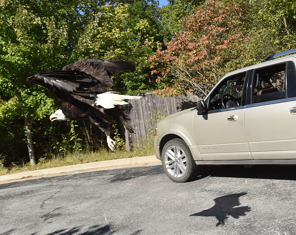The eagle flies past Sciumbato's vehicle on Sept. 27 after its release. (NWA Democrat-Gazette/Flip Putthoff)