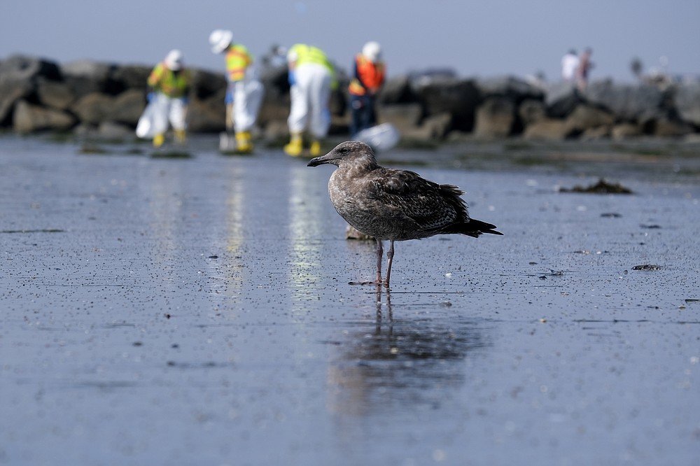 A seagull rests as workers in protective suits clean the contaminated beach after an oil spill, Wednesday, Oct. 6, 2021 in Newport Beach, Calif. A major oil spill off the coast of Southern California fouled popular beaches and killed wildlife while crews scrambled Sunday, to contain the crude before it spread further into protected wetlands. (AP Photo/Ringo H.W. Chiu)
