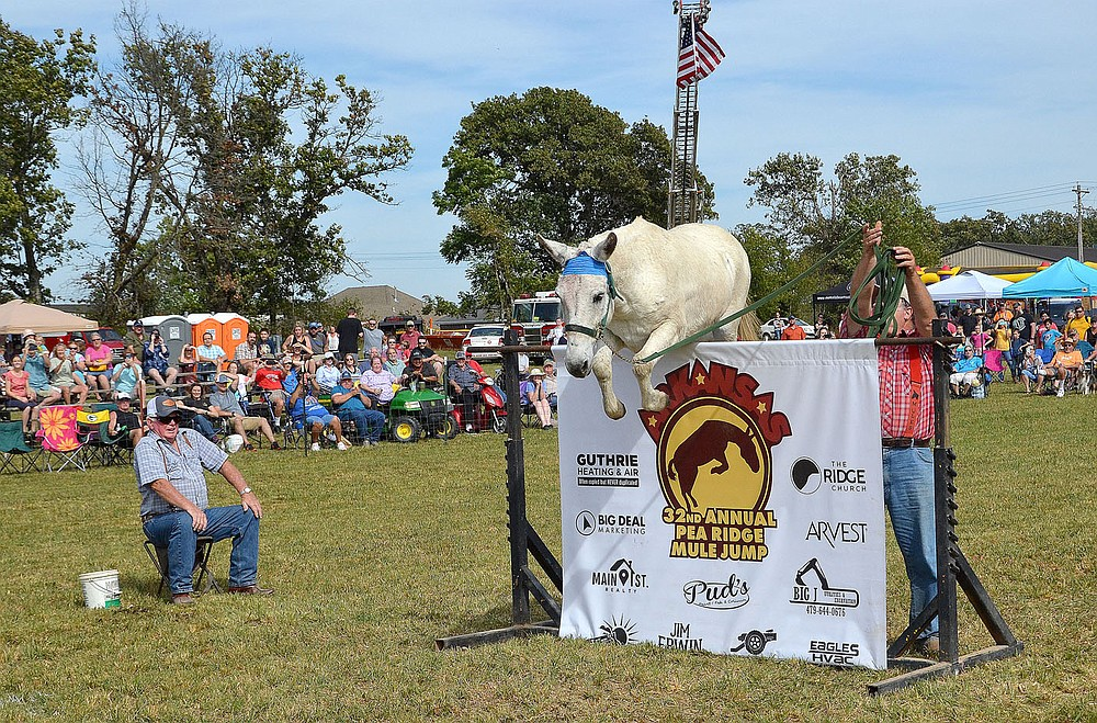 """TIMES photograph by Annette Beard Pedro, the little mule who could, cleared the 56-inch jump Saturday winning the pro jump. """"Preacher"""" Richie Dement from Centerville, Mo., won the Montana belt buckle, $1,000, and the blue ribbon as well as bragging rights. For more photographs, go to https://tnebc.nwaonline.com/photos/."""