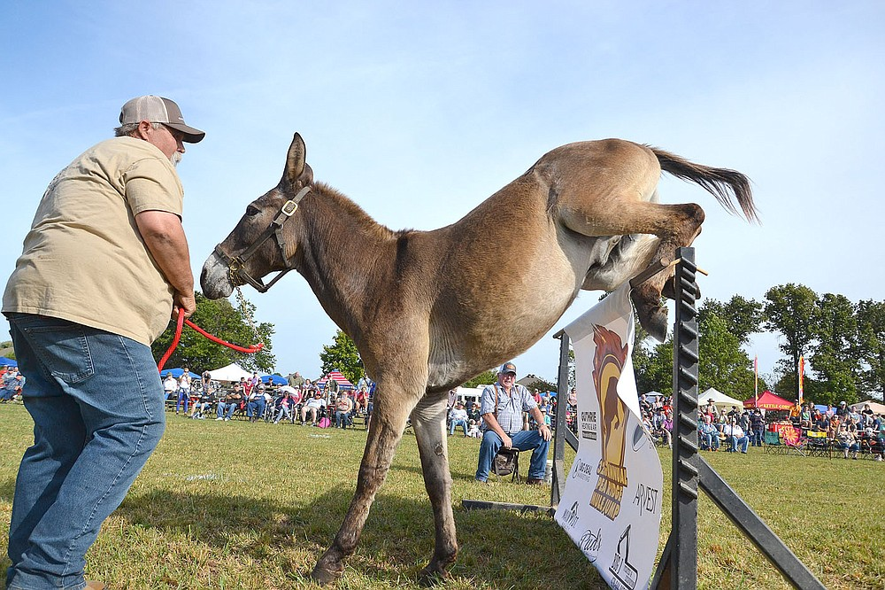 Jerry Nelson encouraged his mule to clear the jump Saturday, Oct. 9, 2021, in the 32nd annual Pea Ridge Mule Jump. Nelson, of Cameron, Mo., is a regular competitor at the event.